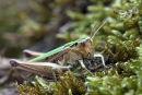 03D-3364 Common Green Grasshopper Omocestus viridulus.