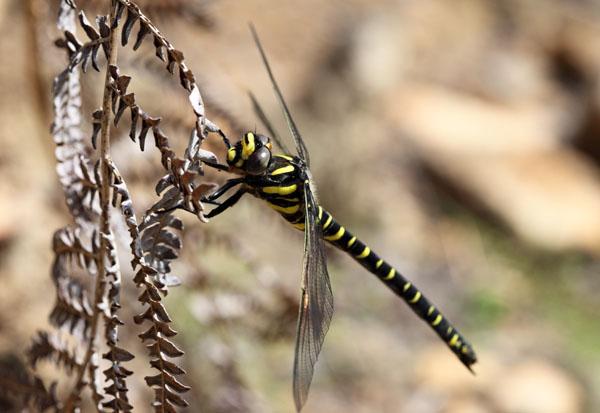 03D-3657 Golden-Ringed Dragonfly Cordulegaster boltonii.