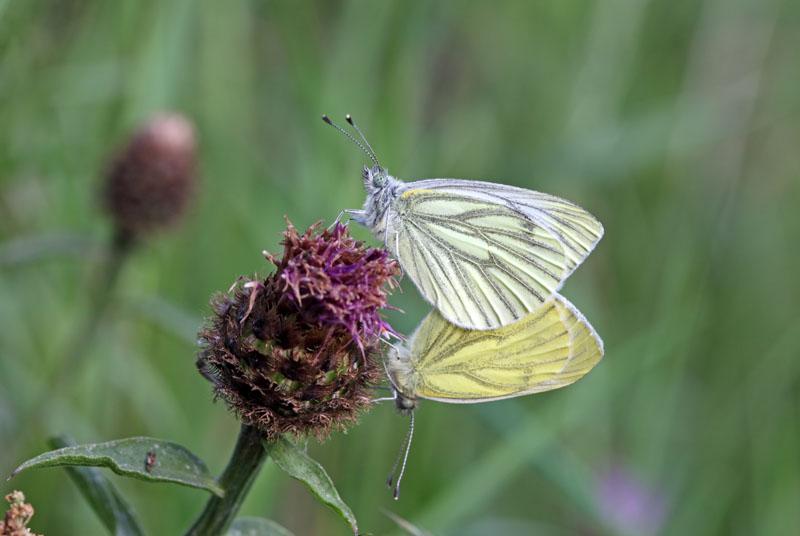 03D-6086 Green-veined White Pieris napi Butterflies Mating UK