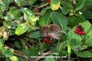 03D-6505 Bank Vole Clethrionomys glareolus Feeding on Honeysuckle Berries UK