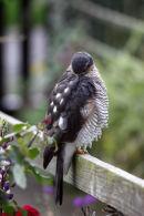 03D-7273 Sparrowhawk Accipter nisus Preening