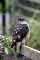 03D-7338 Sparrowhawk Accipter nisus on Garden Fence