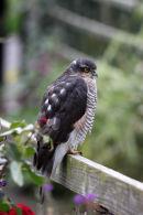 03D-7346 Sparrowhawk Accipter nisus on Garden Fence