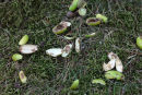 03D-7514 Remains of Unripe Acorns at a Grey Squirrel Feeding Site UK