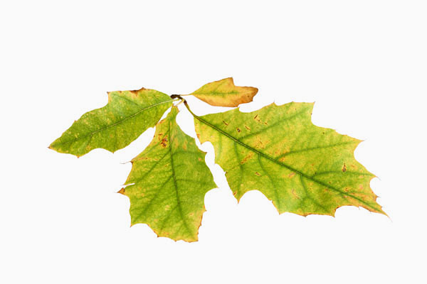 Backlit Autumn Leaf (Turkey Oak) Showing Colour Change from the Green Colour Produced by Chlorophyll to the Yellow and Orange Pigments of Xanthophylls and Beta-Carotene.