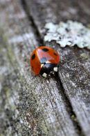 03D-7597 Closeup View of a Seven Spot Ladybird Coccinella 7-punctata.