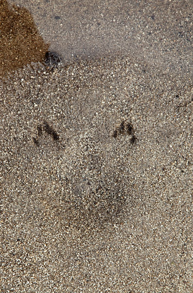 03D-7850 Rabbit Pawprints With Imprint of its Bottom Left by a Rabbit Drinking from a Stream