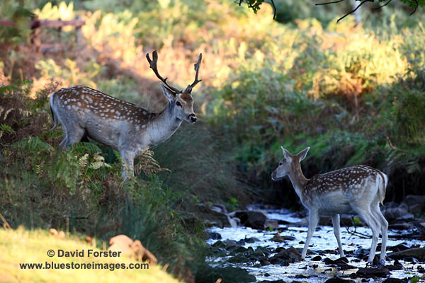 03D-8436 Male and Female Fallow Deer Dama dama in Woodland Stream in Autumn