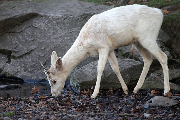 03D-8502 Young Male Fallow Deer Dama Dama Drinking From Stream
