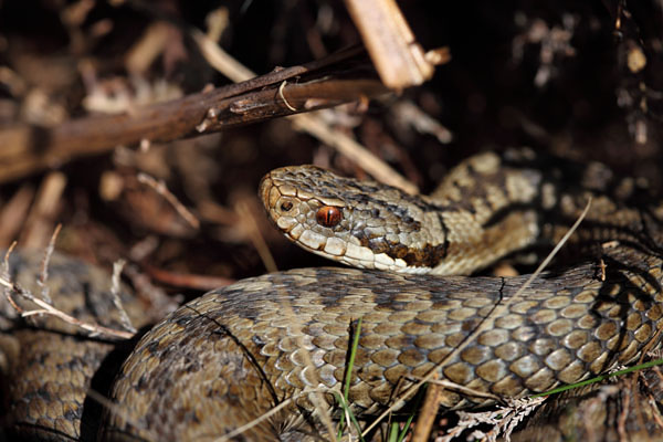 04D-4658 Adder Vipera Berus Teesdale County Durham UK