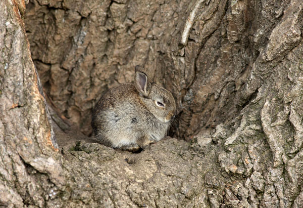 04D-6472a Young Rabbit Oryctolagus cuniculus Resting in the Bowl of an Ash Tree UK.