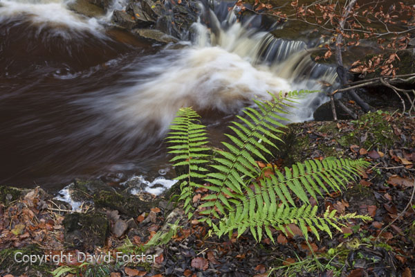 05D-8176 Ferns (possibly Male Fern Dryopteris felix-mas) Growing Beside Woodland Stream Teesdale County Durham UK
