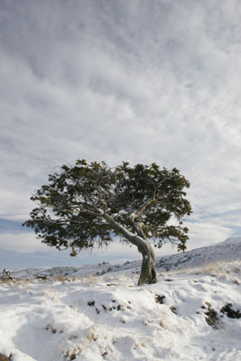 06-1451 Juniper Tree (Juniperus communis) in Winter.  Bracken Rigg, Upper Teesdale, County Durham.