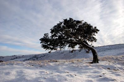 06-1459 Juniper Tree (Juniperus communis) in Winter.  Bracken Rigg, Upper Teesdale, County Durham