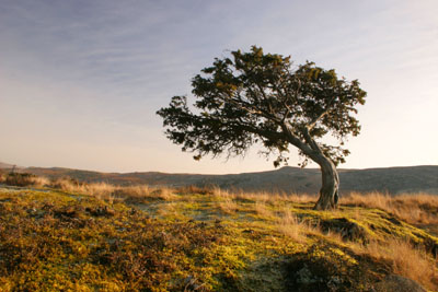 06-2123 Juniper Tree (Juniperus communis) on the Pennine Way Footpath near Bracken Rigg, Upper Teesdale, County Durham.