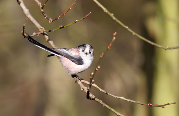 06-2632 Long Tailed Tit (Aegithalos caudatus) in Tree with Spring Buds.