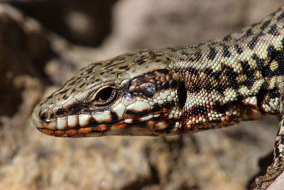 06-3396 Close Up of the Head of a Common Wall Lizard (Podarcis muralis), Cevennes National Park, France