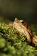 06-4217 Common Frog (Rana temporaria) on Moss