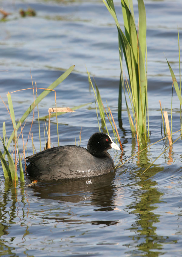 06-4485 Coot (Fulica atra) Low Barns Nature Reserve, County Durham.