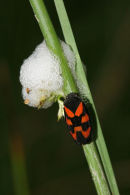 06-5690 Frog Hopper (Cercopis vulnerata) with Nymphs and Protective Foam.