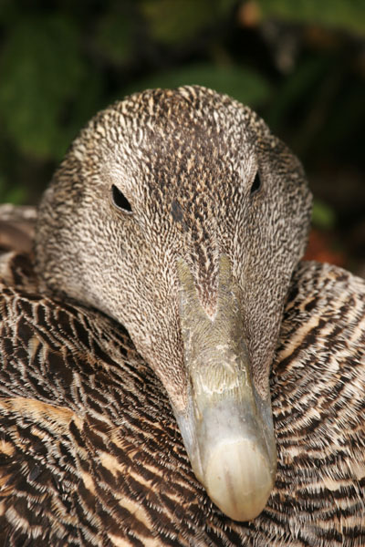 06-5995 Close up of a Female Eider Duck (Somateria mollissima) Farne Islands, Northumberland, UK.