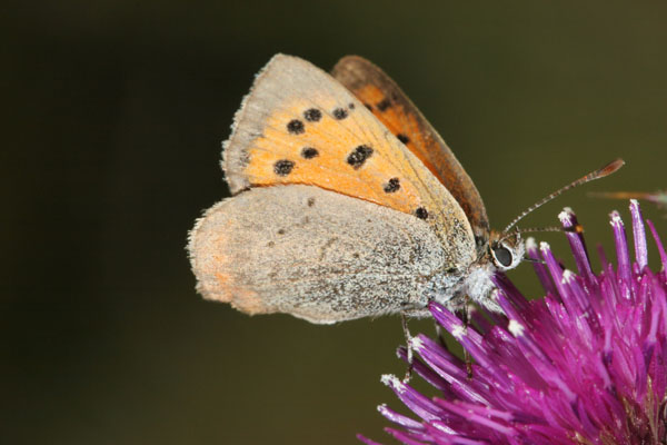 06-6497 Small Copper (Lycaena phlaeas) on Thistle Head