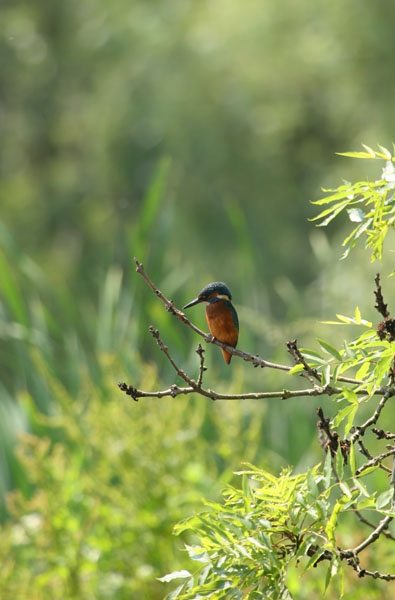 06-6845 Kingfisher (Alcedo atthis) in Habitat of Willow Trees