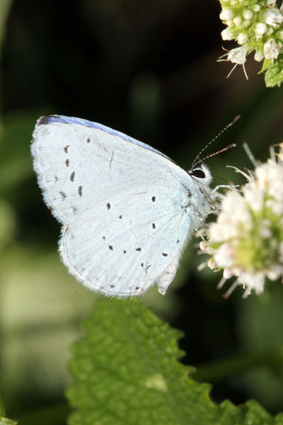 06-7600 Holly Blue (Celastina arigiolus)