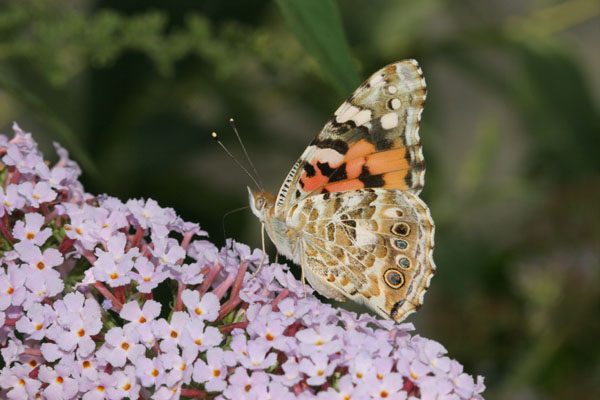 06-7766 Painted lady Butterfly (Vanessa cardui)