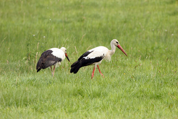 06-7899 White Storks (Ciconia ciconia) France