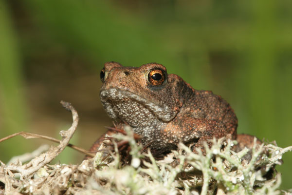 06-8913 Toad (Bufo bufo) on Lichen
