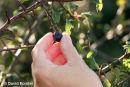 06-9520 Picking Wild Sloe Berries (Prunus spinosa)