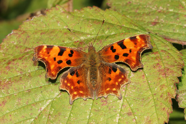 06-9658 Comma Butterfly (Polygonia c-album) on Blackberry Leaf.