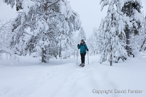 06D-1145 Walker Using Snowshoes in Pallas-Yllastunturi National Park Near Yllas in Finnish Lapland Finland