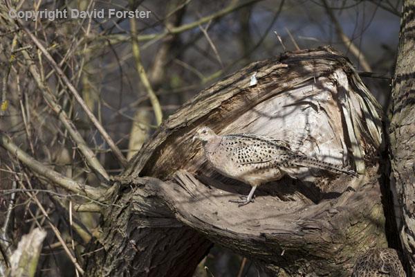 06D-2071 Female Pheasant Phasianus colchicus in Woodland Habitat UK