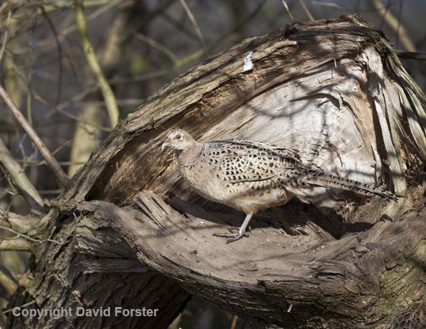 06D-2071a Female Pheasant Phasianus colchicus in Woodland Habitat UK