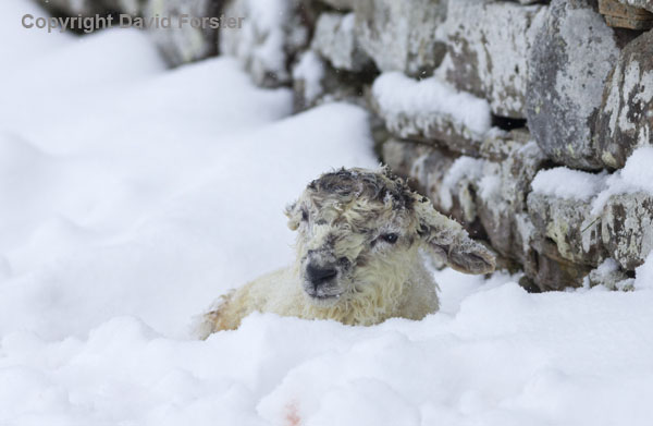 06D-2631 Newborn Lamb in Snow Teesdale County Durham UK