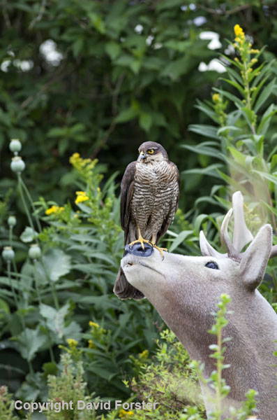 06D-2691a Sparrowhawk Accipiter nisus in Garden Environment England UK