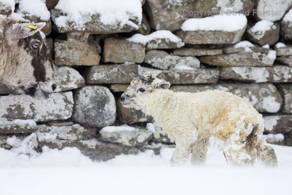 06D-2710 Sheep with lamb born during heavy snowfall UK