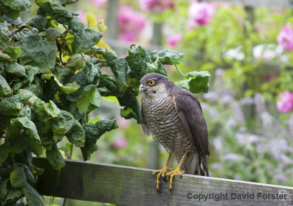 06D-2716 Sparrowhawk Accipiter nisus Perched on Garden Fence England UK.