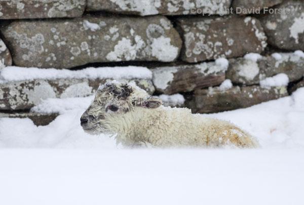 06D-2725 Newborn Lamb in Winter Snow UK