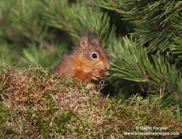 06D-5461a Red Squirrel Sciurus vulgaris North Pennines England UK