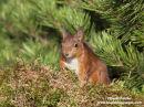 06D-5489a Red Squirrel Sciurus vulgaris North Pennines England UK