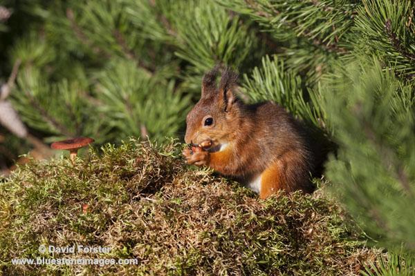06D-5591 Red Squirrel Sciurus vulgaris North Pennines England UK