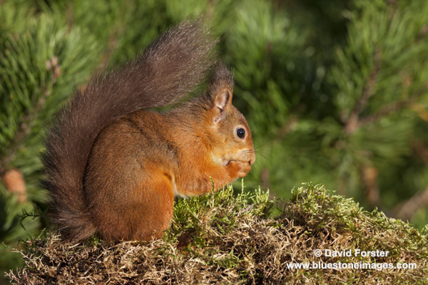 06D-5791 Red Squirrel Sciurus vulgaris North Pennines England UK