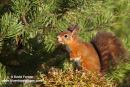 06D-5802 Red Squirrel Sciurus vulgaris North Pennines England UK
