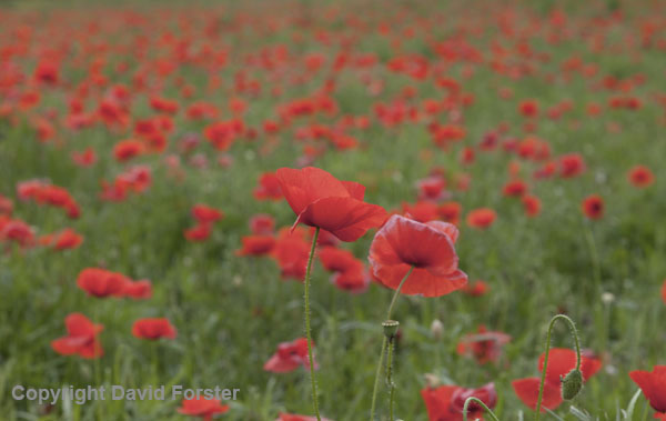 06D-7614 Poppies (Papaver rhoes)