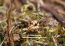 06D-8678 Adder Vipera berus Sensing with Tongue North Pennines UK