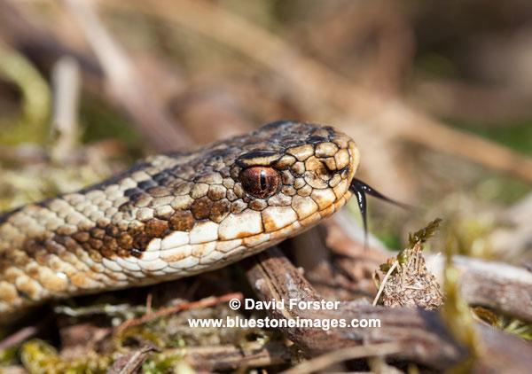 06D-8750 Adder Vipera berus Sensing with Tongue Teesdale County Durham UK
