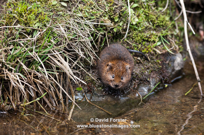 06D-9394 Water Vole Arvicola amphibius Teesdale North Pennines County Durham UK